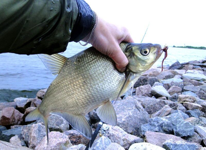 лещ на фидер финский залив видео