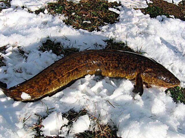 способы ловли рыбы зимой на балансир
