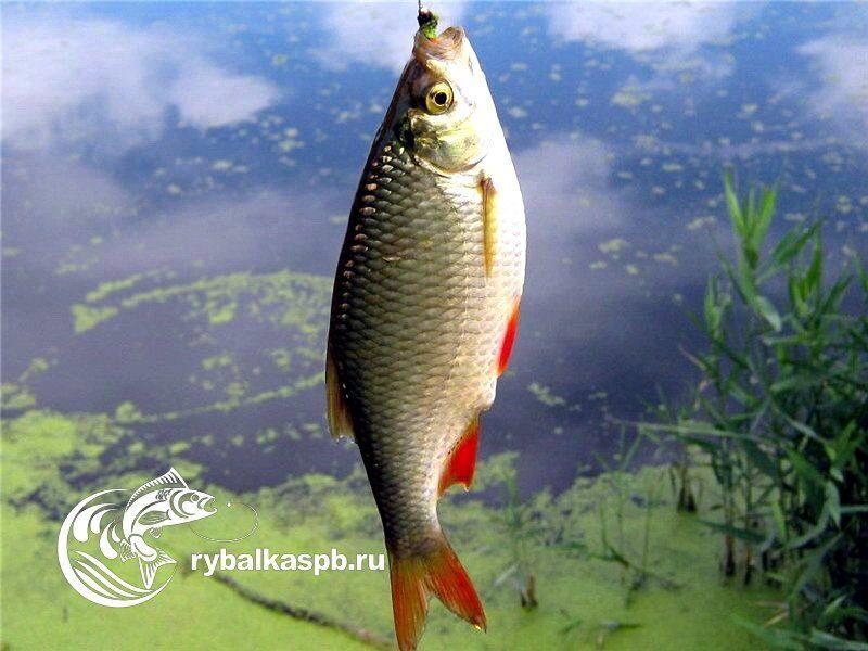 рыбная ловля красноперки