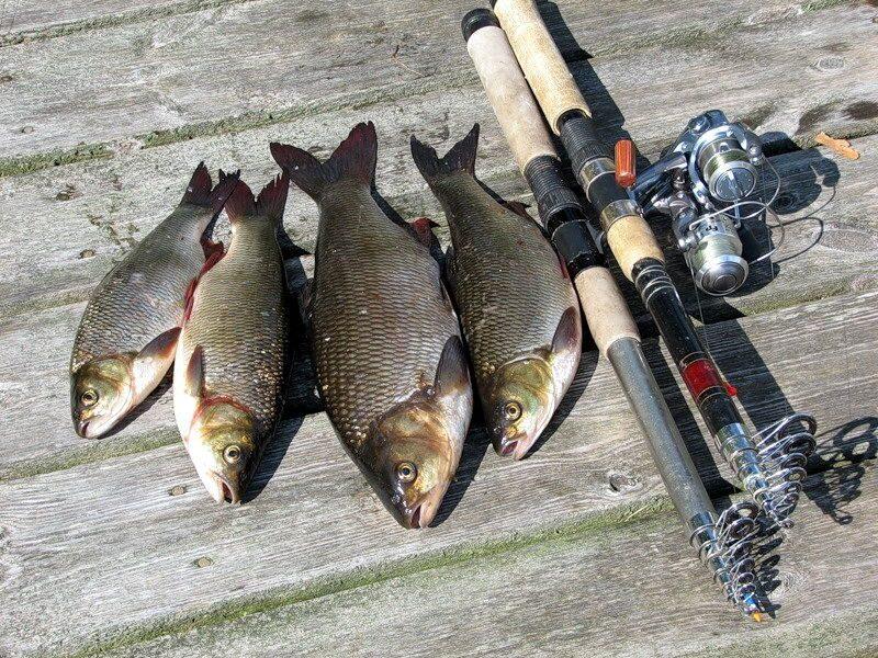 как правильно ловить язя на реке
