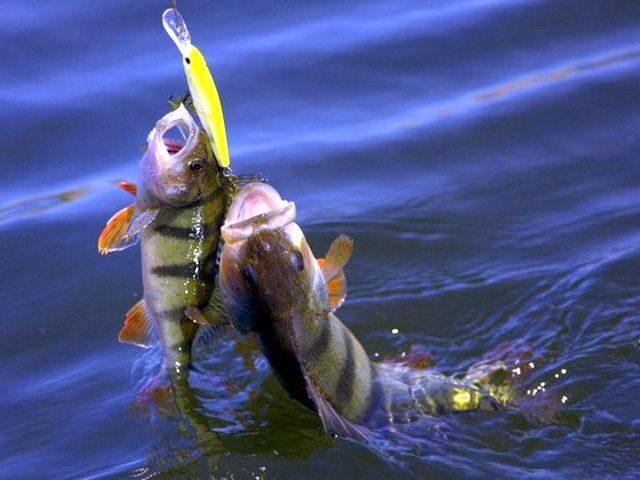 балансир для зимней рыбалки на окуня